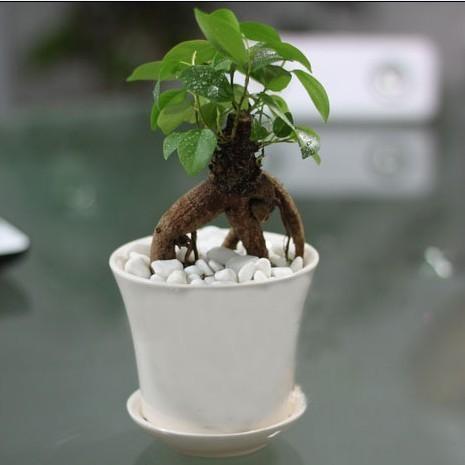 盆栽小榕树 人参榕树 室内桌面迷你盆栽可水培送育苗
