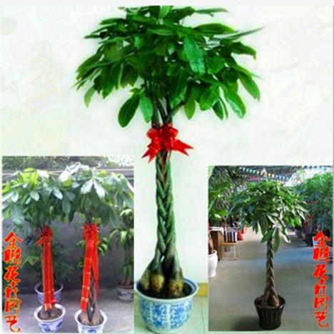 室内花卉盆景植物 办公室客厅大型绿植发财树盆栽大