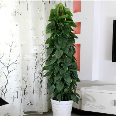 室内客厅大型盆栽植物花卉绿植盆景大绿萝净化?#25484;?#21560;