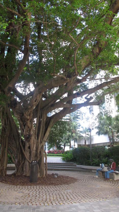 太古大厦顶层榕树图片