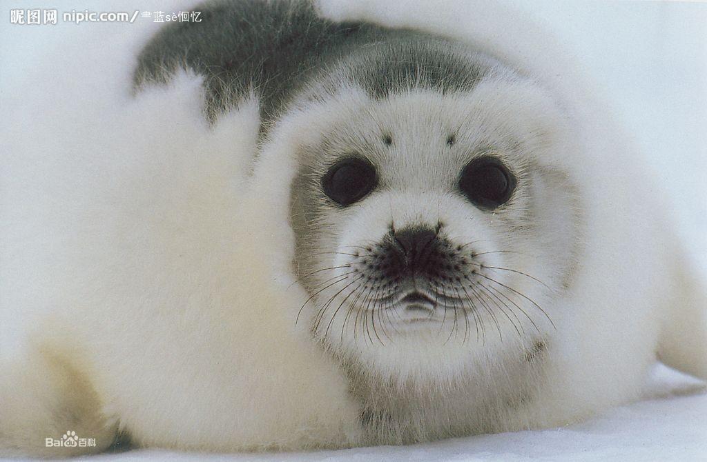 动物海豹图片大全大图