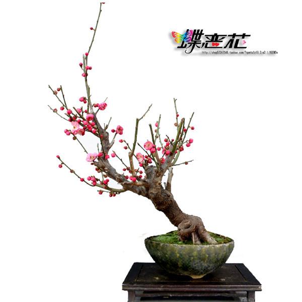 *红梅盆景*骨里红,绿梅 梅花树桩 各品种梅花