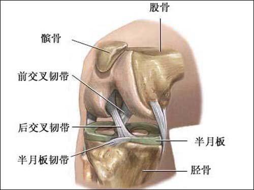 膝关节滑膜结构图