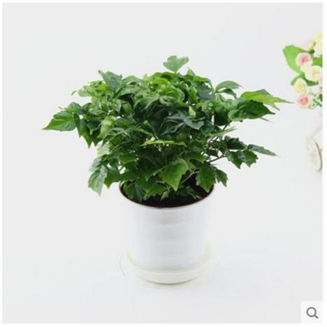 【幸福树富贵树绿色植物办公室绿植花卉室内植物小带