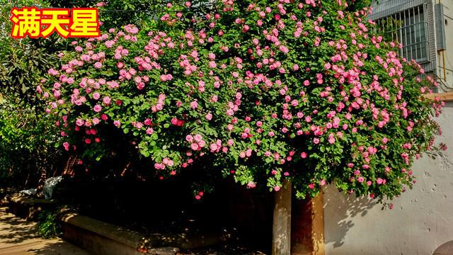 四季循环开花 蔷薇花苗 藤本月季 爬藤玫瑰花苗 藤本植物